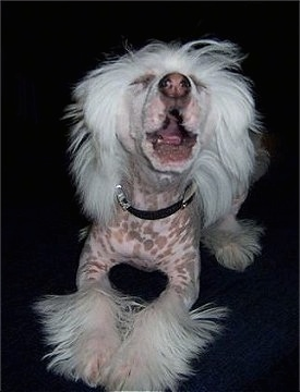 Harry the Chinese Crested puppy is jumping up in the middle of a bark. His mouth is open and his eyes are closed.