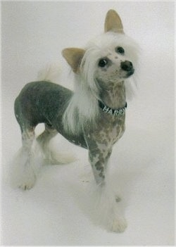 Harry the Chinese Crested Puppy is wearing a collar that has the name - HARRY - on it while standing on a white backdrop