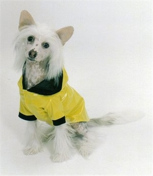 Harry the Chinese Crested Puppy is wearing a yellow with black raincoat and sitting on a white backdrop