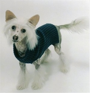 Harry the Chinese Crested Puppy is wearing a black sweater and standing on a white backdrop