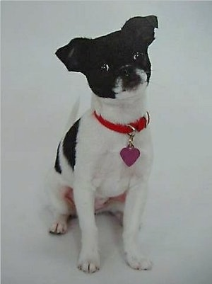 Lilian the black and white Chin-Wa is wearing a red collar with a purple heart tag hanging from it and sitting on a white backdrop and her head is tilted to the left