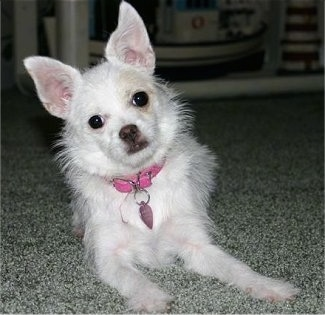 Madonna the white Chi-poo is wearing a pink collar with a heart tag and is laying on a gray carpet and its body is leaning to the left