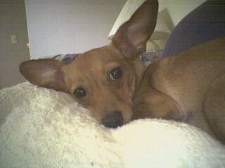 Close Up - Daphnee the Chiweenie is laying on a person laying on a couch. He is large ears that stick up.