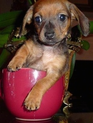 Close Up - Coco the Chiweenie Puppy is sitting in a little red cup on a glass table