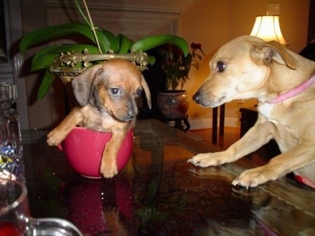 Coco the Chiweenie Puppy is sitting in a little red cup on a glass table. Luigi the Chiweenie is climbing on to the table and looking at him