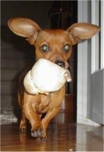 Action shot - Coco the Chiweenie Puppy is running across a hardwood floor with a toy in its mouth