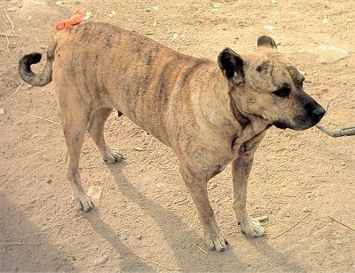 Front side view - A tan with black and white Perro Cimarron dog is standing across a dirt surface looking to the right.