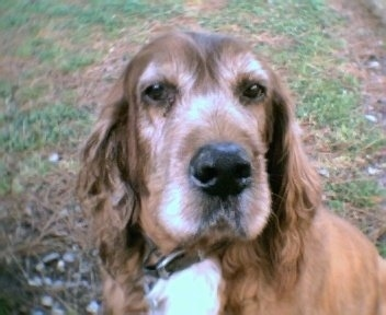 Close Up - Oopsie the graying Irish Setter is sitting in a field outside.