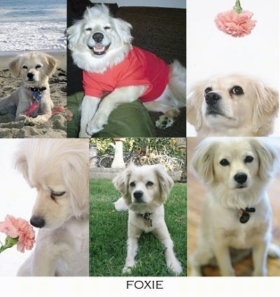 collage of pictures of Foxie the Cocker Spaniel Eskimo mix dog - Left Top - Foxie is laying on a beach and there is a body of water behind her. Middle Top - Foxie is wearing a red shirt. She is laying on a couch and on top of a green pillow. Right Top - There is a flower over Foxies head. Left Bottom - Foxie is sniffing a flower next to her. Middle Bottom - Foxie is laying outside and there is a large fountain behind it. Right Bottom - Is sitting on a hardwood floor