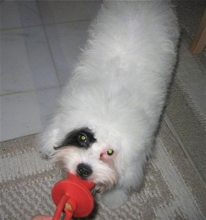 Doodle the white with a black patched Cockapoo puppy is having a tug of war with a red pacifier dog toy
