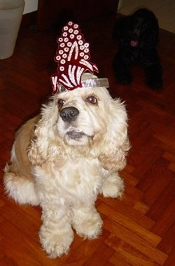 The front left side of a tan and white American Cocker Spaniel that is sitting on a floor with a headband on. There is a black American Cocker Spaniel sitting behind it.