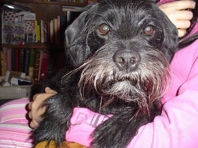 A wiry looking black Schnocker is laying in the arm of a person wearing a hot pink shirt and striped pants. The dog is looking forward. The dog has longer hair on its face.