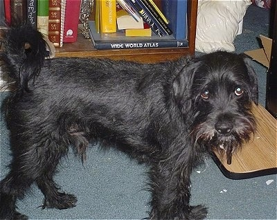 The right side of a wiry looking, black Schnocker dog that is looking forward. Its head is level with its body and its tail is curled up over its back. The dog is looking up with its eyes.