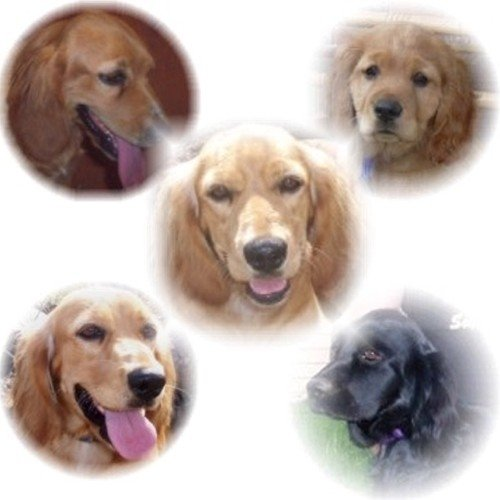 A series of five Golden Cocker Retriever photo head shots that are cut out in circles. Top Left Close Up - A Golden Cocker Retriever that is sitting in a house. Its mouth is open and tongue is out. Top right Close Up - A Golden Cocker Retriever puppy is looking forward. Middle - A Golden Cocker Retriever is sitting outside its mouth is open. It looks like it is smiling. Bottom Left - A Golden Cocker Retriever is sitting outside. Its mouth is open and tongue is out. Bottom Right - A black Golden Cocker Retriever is sitting in a front yard outside