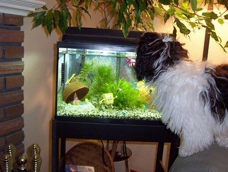 A black and white Havanese dog is looking at the top of a fish tank while standing at the edge of an arm chair.
