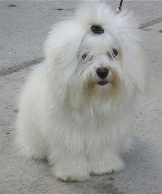 Furio the Coton De Tulear is sitting on a sidewalk. There is a barrette holding his hair back out of his eyes.