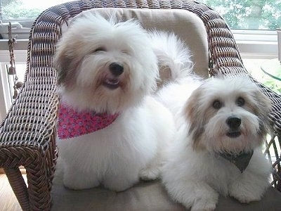 Bella the Coton de Tulear is wearing a pink bandana and sitting in a wicker chair. She is Next to Bernie the Coton de Tulear who is waring a black bandana and laying on the same wicker chair