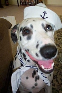Close Up - Lilly the Dalmatian is sitting on a rug and wearing a sailors hat and scarf. Her mouth is open and tongue is out