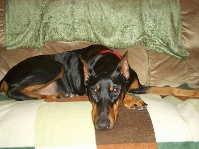 Destiny the black and tan Doberman Pinscher is laying on a tan couch on top of an earthy colored blanket.