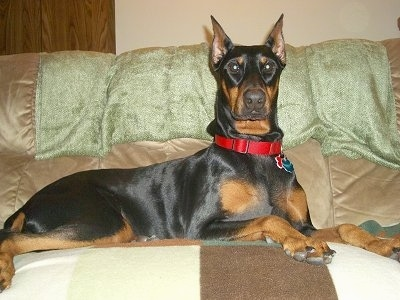 Solid Black Doberman Destiny, the female black and