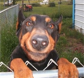 Close Up with the focal point on the nose - Dixie the black and tan Doberman Pinscher is jumped up at a chain link fence with a yard and a house in the background