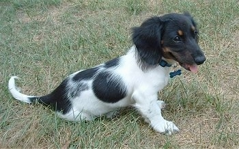 Oreo is a beautiful, active, silly, long haired, piebald, mini dachshund