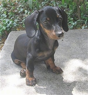 Close Up - Cha-cha the Black and Tan Dachshund puppy is sitting on a concrete step with green bushes behind it
