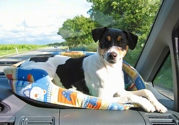 Tjalfe the Danish/Swedish Farmdog is laying on a dogbed on the passenger side dashboard of a car as it drives down the road