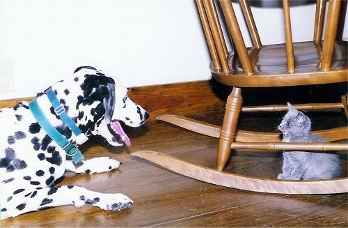 Molly the Dalmatian is laying on a hardwood floor with its mouth open in front of a wooden rocking chair and Daisy the gray kitten is sitting under the Rocking Chair and staring at the dog.