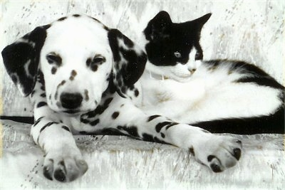 Molly the Dalmatian puppy is laying on a couch with Sherlock the black and white kitten