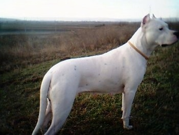 Fuerza de la Paco Cassa the Dogo is standing in a grassy field
