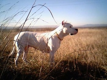 Right Profile - Fuerza de la Paco Cassa the Dogo is standing in a field of medium sized brown grass