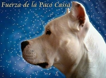 Close Up - Fuerza de la Paco Cassa the Dogos face. Its face is on a starry background. The Words - Fuerza de la Paco Cassa - appears at the top left of the image