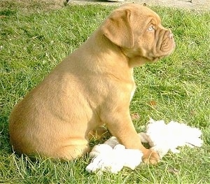 Luna the Dogue de Bordeaux puppy is sitting in a yard with a rope toy and dog bone in front of her
