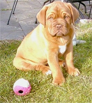 Luna the Dogue de Bordeaux puppy is sitting in grass next to a pink tennis ball that is in front of a stone porch area