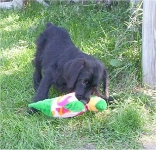 Raja the black Doodleman Pinscher puppy is outside playing with a toy plush duck