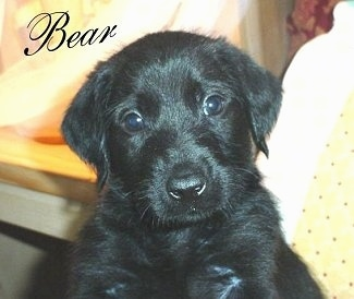 A black Doodleman Pinscher Puppy is being held in the air. The Word - Bear - is overlayed in the top left of the image