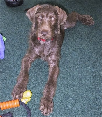 Scarlett the brown looking Doodleman Pinscher puppy is laying on a green carpet and there is a dog toy next to its paw