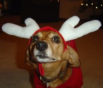 Close Up - Oscar the Doxle is wearing a hat with reindeer horns and a red shirt