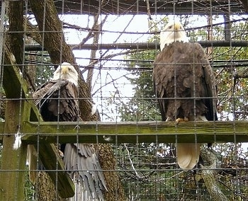 Two Eagles sitting inside of a cage