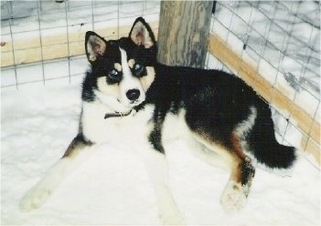 Retu the black, tan and white East Siberian Laika is laying in snow against the back of a wooden pole that is being used to hold up a wire fence