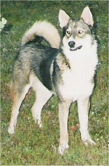 Tahvo the gray, white and tan East Siberian Laika is standing in a field and looking to the left.