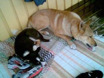 A tan West Siberian Laika is laying next to a sleeping black with white and tan East Siberian Laika on top of throw rugs on a floor.