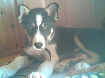 Vella the black, tan and white East Siberian Laika puppy is laying in front of a cabinet on top of a rug