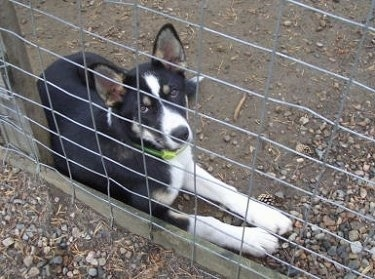Vella the black, tan and white East Siberian Laika puppy is laying in front of a wire fence