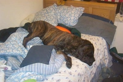 A brown brindle English Mastiff is sleeping on a human's bed with its head over the edge. The dog is very large and takes up a lot of the bed.