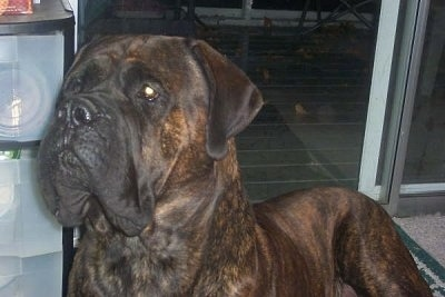 Close up upper body shot - a brown brindle English Mastiff is laying inside a house on a carpet in front of a sliding door at night.