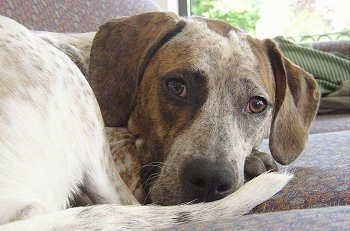 Close Up -  Dixie the white, tan, black and gray ticked English Coonhound is curled in a ball on a couch