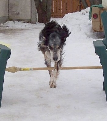 Freckles the black, white and tan ticked tri-color English Setter is jumping over a wooden pole in the snow.