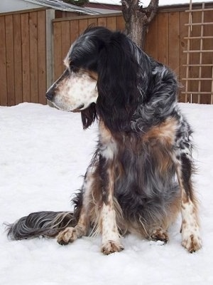 Freckles the black, white and tan tri-color English Setter is sitting on snow and looking to the left. There is a wooden fence behind it